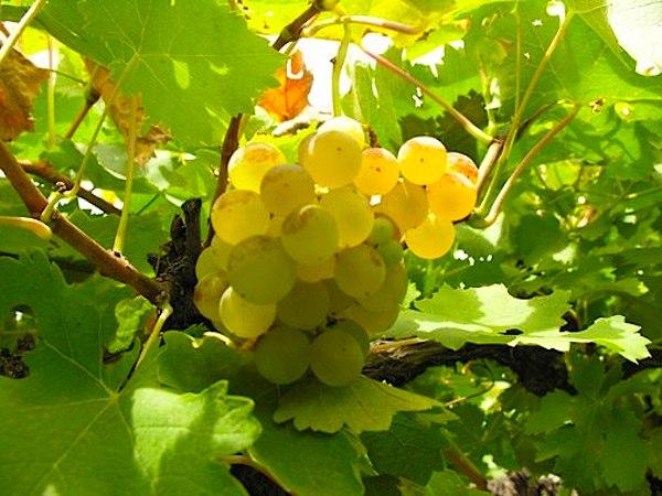 Quara Torrontés 2013. O vinho bom e barato do dia